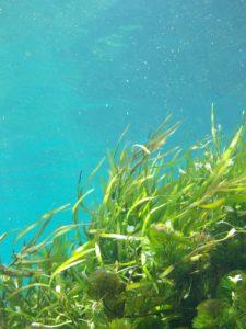 Rishiri kelp