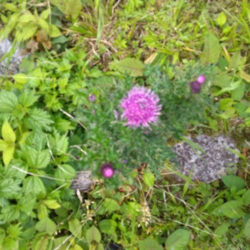 Mt.ibuki flower 1